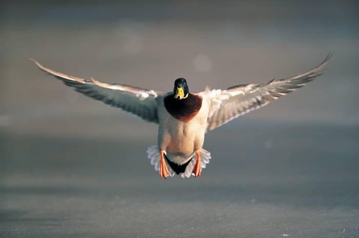 duck_landing-4527.jpg